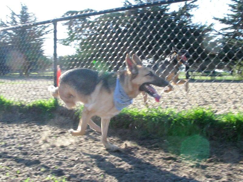 Three Legged German Shepherd Rescue Dog Codie Rae Running