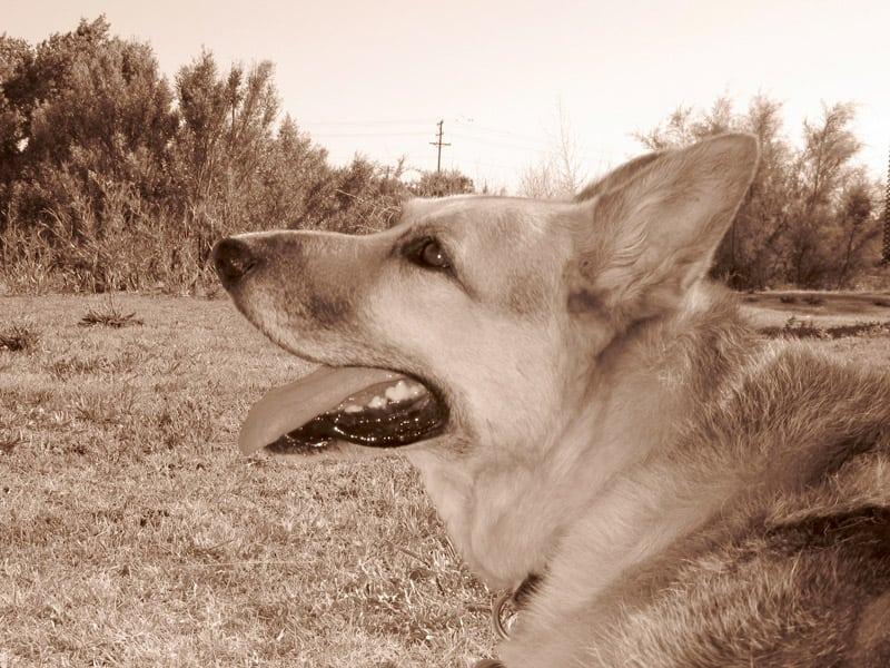 Our Three Legged Bone Cancer Hero Dog Jerry