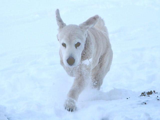 11 year old three legged dog Zeus 11 months after amputation